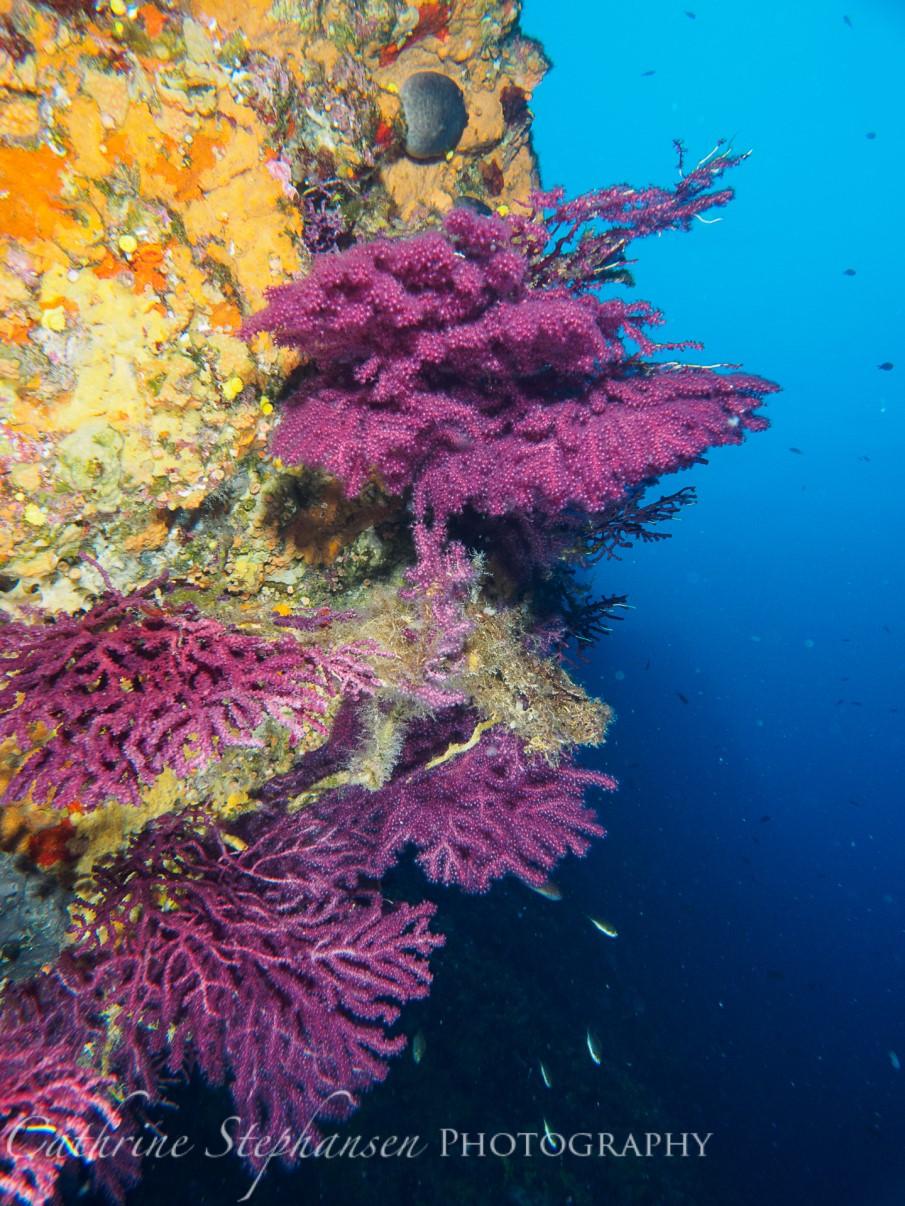 Gorgonians at Alonissos Triton Dive Center