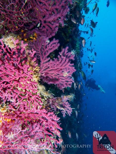 Gorgonian Garden, Alonissos, Alonnisos, Alonissos Triton, Dive, Scuba diving