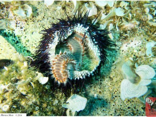 Urchin & Fireworm